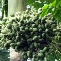 海南雅利槟榔